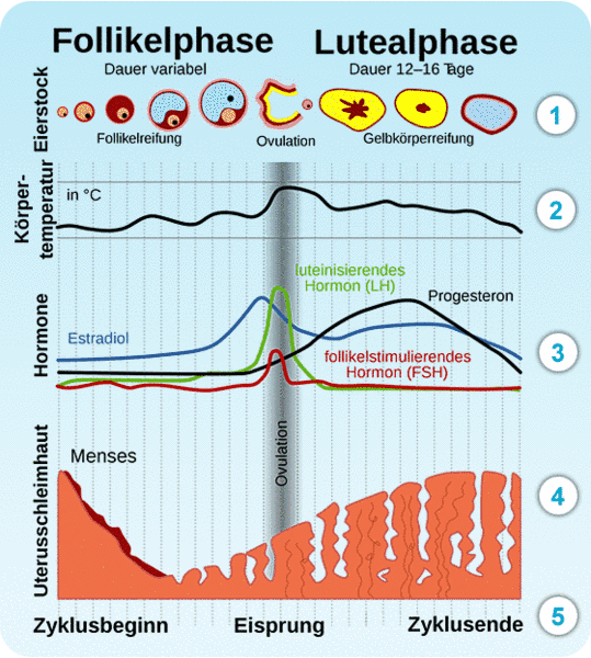 Menstruationszyklus Maedchensache Ch